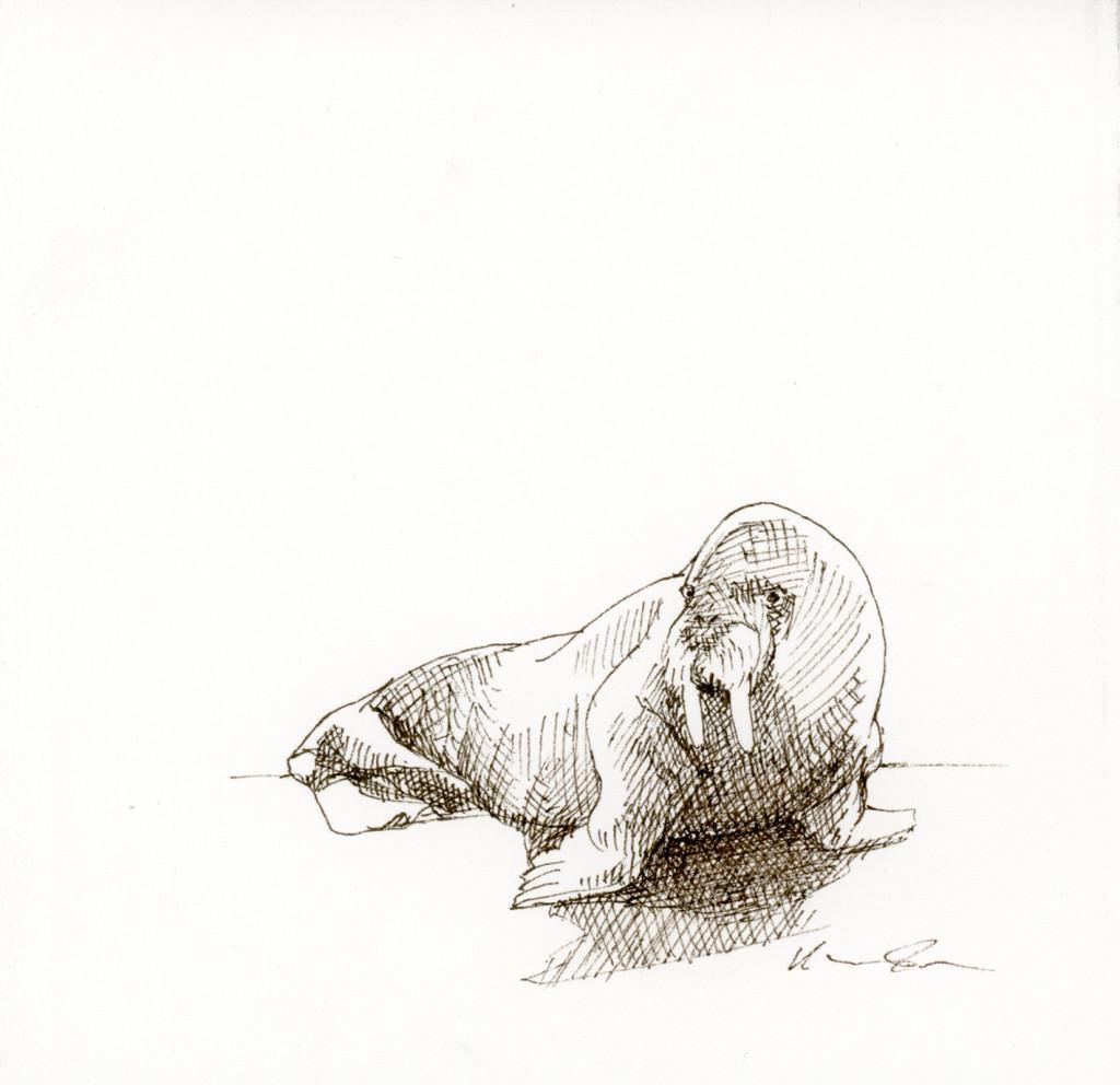 Runde_Walrus